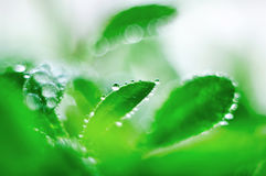 Green sprout with dewdrops Royalty Free Stock Image
