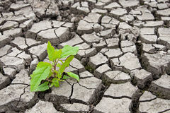 Green sprout in the dry ground. Will to live concept Royalty Free Stock Image