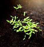 Green sprout growing from ground Royalty Free Stock Image