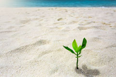 Green sprout growing out from sand. At tropical island Royalty Free Stock Image