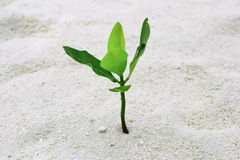 Green sprout growing out from sand. At tropical island Royalty Free Stock Photo