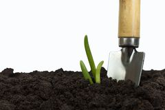 Green sprout growing out from soil isolated on white background. Gardening tools on fertile soil texture background. Gardening or planting concept. Working in stock image