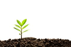 Green sprout growing out from soil Royalty Free Stock Image