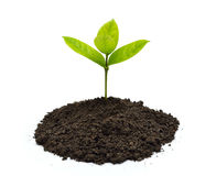 Green sprout. Growing out from soil on white background royalty free stock photo