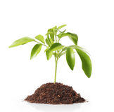 Green sprout growing from. Green  plant, sprout growing from Stock Photo