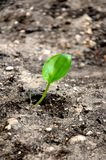 Green sprout growing from seed Royalty Free Stock Image