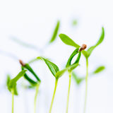 Green sprout growing from seed isolate Stock Images