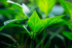 Green Sprout Growing From Seed. Green Sprout With Leaf, Leaves Growing. Spring Concept Of New Life Royalty Free Stock Images
