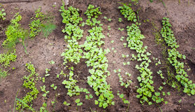 Green sprout growing from seed Royalty Free Stock Photography