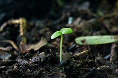 Green sprout growing from seed on soil. Royalty Free Stock Photos