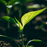 Green sprout growing from seed Royalty Free Stock Photos