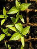 Green sprout growing from seed in square boxes Royalty Free Stock Image