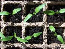Green sprout growing from seed in square boxes Royalty Free Stock Photo