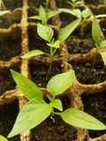 Green sprout growing from seed in square boxes Royalty Free Stock Images