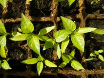 Green sprout growing from seed in square boxes Stock Photo