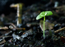 Green sprout growing from seed and water drop Royalty Free Stock Photography