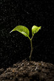 Green sprout growing from soil Royalty Free Stock Image