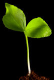 Green sprout isolated Royalty Free Stock Images