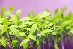 Green sprout. In the land among many young plants Royalty Free Stock Photo