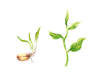 Green sprout with leaves and seed. Watercolour Stock Image