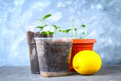 A green sprout of lemon in a pot. Seedling from the bones. Ripe lemon fruit next to a tree. Royalty Free Stock Photo