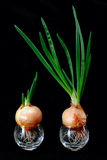Green sprout onion Stock Images