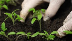 Green sprout planted in ground in greenhouse of women`s hands in gloves. close-up. growing transplant in a greenhouse by. Farmer stock footage
