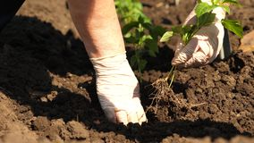 Green sprout planted in the ground with hands in gloves. close-up. cultivation of tomato farmer. Tomato seedlings are. Planted on plantation in the spring royalty free stock photography