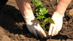 Green sprout planted in the ground with hands in gloves. close-up. cultivation of tomato farmer. Tomato seedlings are. Planted on plantation in the spring stock image