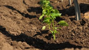 Green sprout planted in the ground with hands in gloves. close-up. cultivation of tomato farmer. Tomato seedlings are. Planted on plantation in the spring royalty free stock images