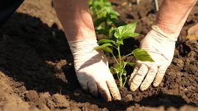 Green sprout planted in the ground with hands in gloves. close-up. cultivation of tomato farmer. Tomato seedlings are. Planted on plantation in the spring stock photo