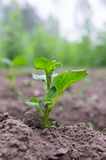 Green sprout of potato. In the field Stock Images