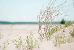 Green sprout. Small plants sprout in the sand Royalty Free Stock Photo