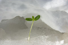 Green sprout on snow Stock Photography