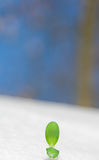 Green sprout on snow Royalty Free Stock Photos
