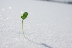 Green sprout on snow. A series: in search of signs of approach of spring Royalty Free Stock Photos