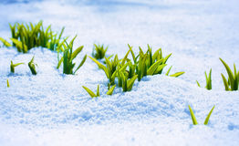 Green sprout on the strong sun with ice and snow Royalty Free Stock Images