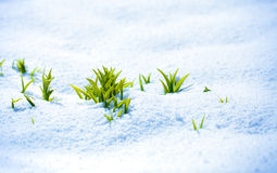 Green sprout on the strong sun with ice and snow Stock Images
