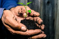 Green sprout in a wet land holding in the hands of a retired ,farmer before planting . Help, Attention, care. stock images