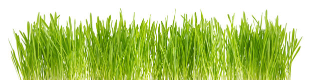 Green sprout of wheat and rye Stock Photography