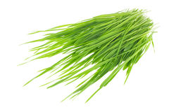 Green sprout of wheat and rye Royalty Free Stock Photo