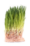 Green sprouted grass with roots Royalty Free Stock Photos