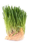 Green sprouted grass with roots Royalty Free Stock Image
