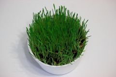 Green sprouted wheat in white glass on white background royalty free stock photography