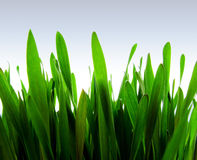 Green Sprouts. Lush green sprouts of rye Stock Images