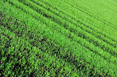 Green sprouts. And foliage of winter wheat Stock Images