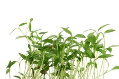 Green sprouts Royalty Free Stock Images