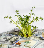 Green sprouts of dollar bills (feed business, prosperity, econom Stock Image
