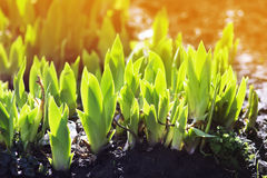 green sprouts of flower iris grow in Sunny spring day Royalty Free Stock Photos