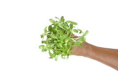 Green sprouts in hands Royalty Free Stock Image